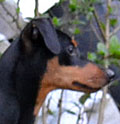 DPI - Deutsche Pinscher Initiative