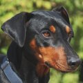 DPI - Deutsche Pinscher